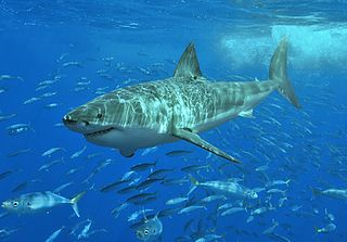 Photo by Terry Gross at en.wikipedia.  Great white shark at Isla Guadalupe, Mexico, August 2006. Shot with Nikon D70s in Ikelite housing, in natural light. Animal estimated at 11-12 feet (3.3 to 3.6 m) in length, age unknown.